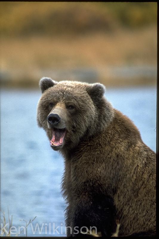 Br. Bear yawning 1