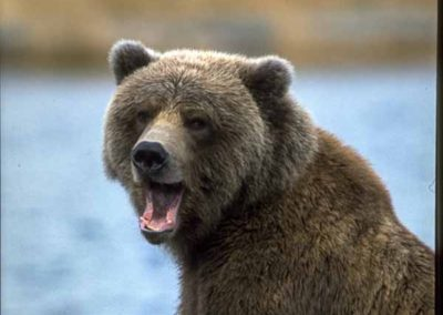 Brown Bear Smiling For the Camera